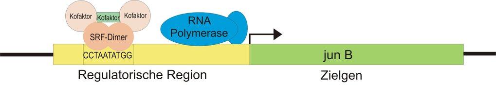 Vereinfachtes Schema der Regulation von junB.