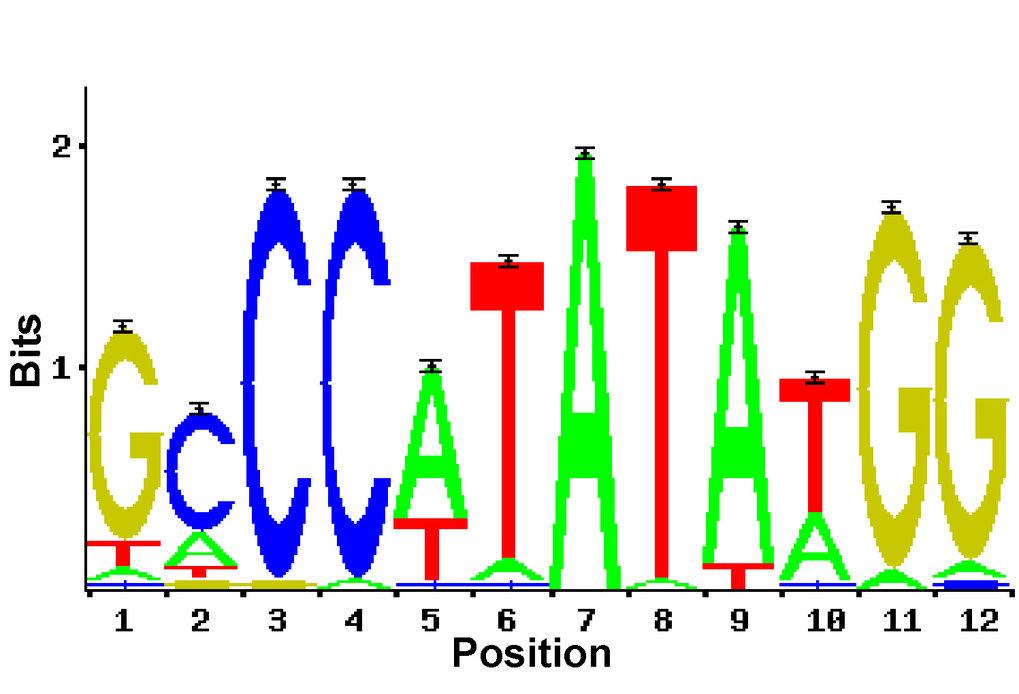 Gewichtsmatrix einer SRF-Bindungsstelle. Die Größe der einzelnen Buchstaben ist ein Maß für die Häufigkeit, mit der die jeweiligen Basen an den entspr