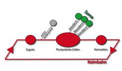 Die Keimbahn von Säugern. Das Oct4-Gen wird in den Zellen der Keimbahn exprimiert (im Schema: Zygote, pluripotente Zellen und Keimzellen). Sobald Zell