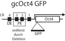 Schematische Darstellung des Oct4-Reportergens gcOct4-GFP. Gezeigt sind vier konservierte Sequenzen (CR1 bis 4) im 5' regulatorischen Bereich. CR2 und