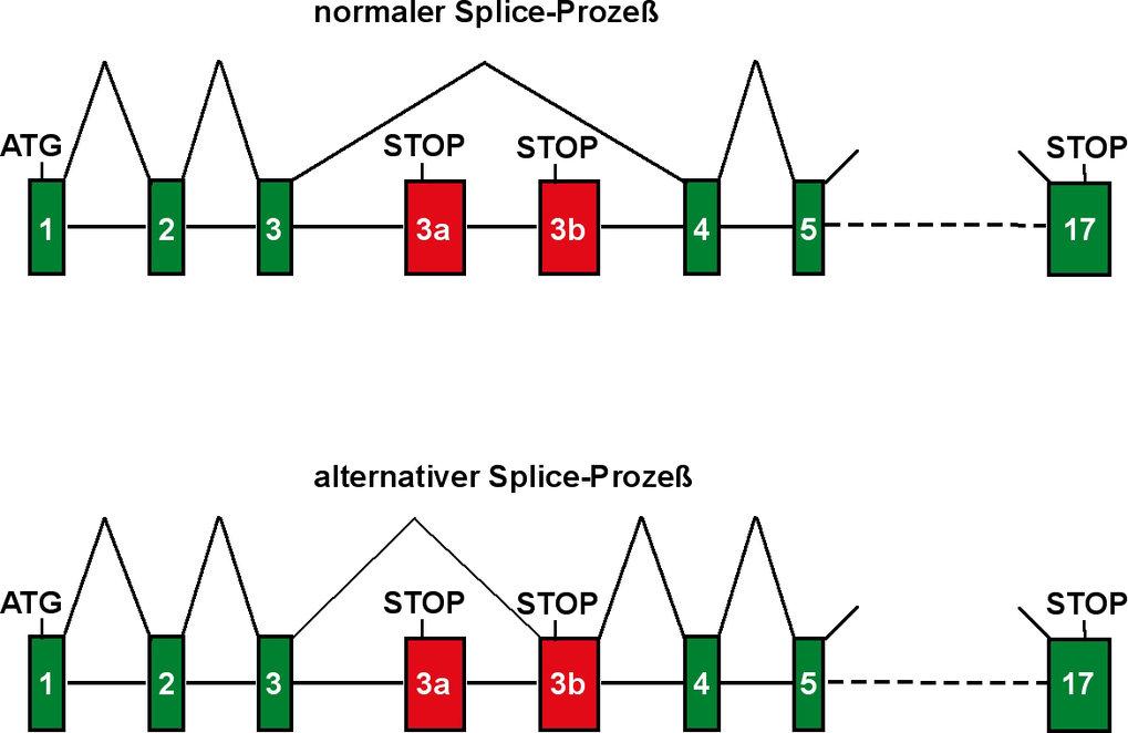 Schematische Darstellung des menschlichen SLP-65-Gens: Die kodierende Sequenz für das SLP-65-Protein ist in 17 Exons (grüne Vierecke) unterteilt, die