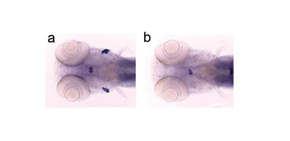 Darstellung der Thymusanlage in 5 Tage alten Zebrafisch-Larven. Man erkennt im Wildtyp (a) deutlich die hinter den Augen angeordnete bilaterale Anlage