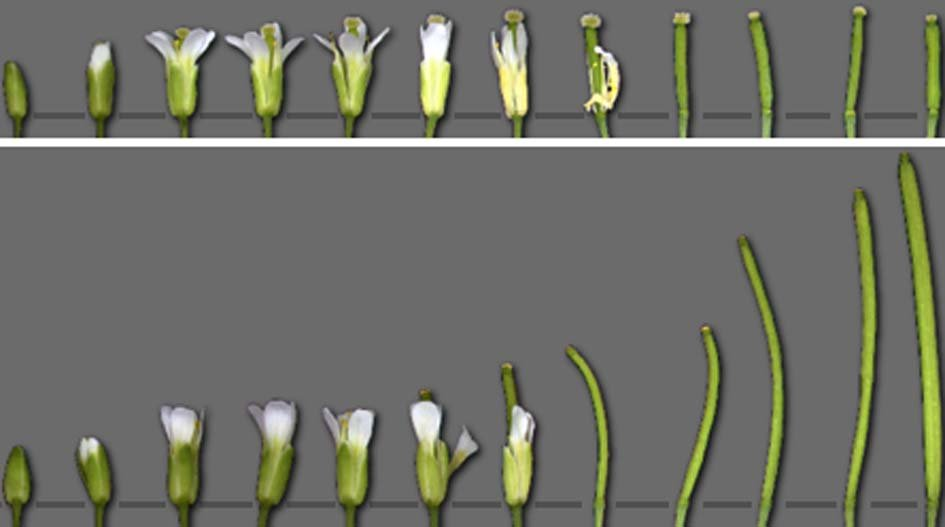 Blüten von spl8-Mutanten der Arabidopsis bilden keine Samen aus. In der oberen Reihe sind die Blüten eines spl8-Mutanten angeordnet, in der unteren Re