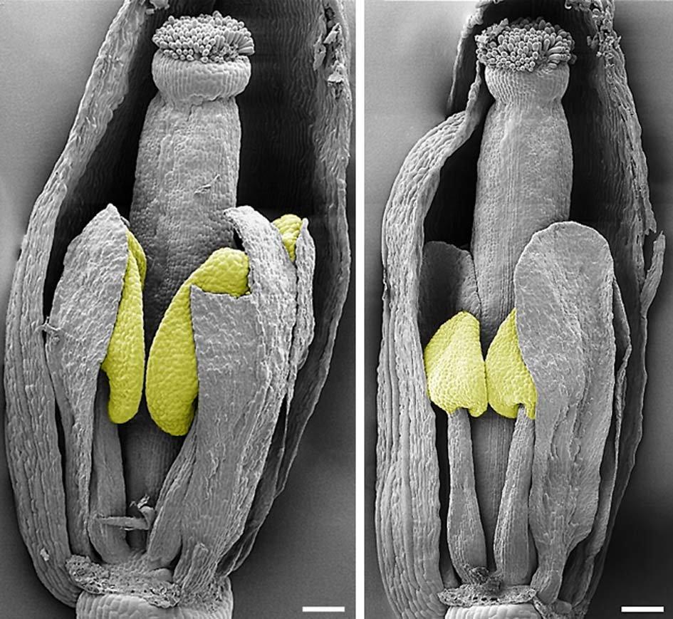 Rasterelektronenemikroskopische Analyse der Morphologie der spl8-Mutante: Beim Vergleich der Blüte der spl8-Mutante (links) mit der des Wildtyps kurz