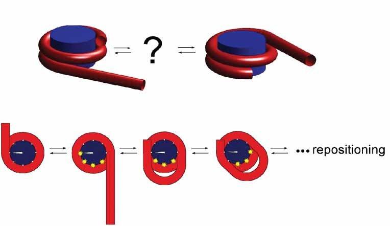 Nukleosomverschiebung: Thermische Fluktuationen können zur spontanen Verschiebung der DNS entlang des Chromatins führen. Im unteren Teil wird ein mögl