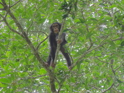 Young chimpanzee climbing a fig tree.