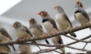 Zebra finches use their specialised song system for simple communication.
