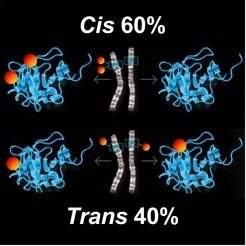 Every human being possesses a <em>cis</em> and <em>trans</em> mutations in a 60:40 ratio. In the <em>cis</em> configuration two mutations occur in one and the same genetic copy. The corresponding protein becomes incapacitated, but the second copy and the protein remain unaffected. In the <em>trans</em> configuration, however, both copies of the gene are mutated and produce two -damaged proteins.