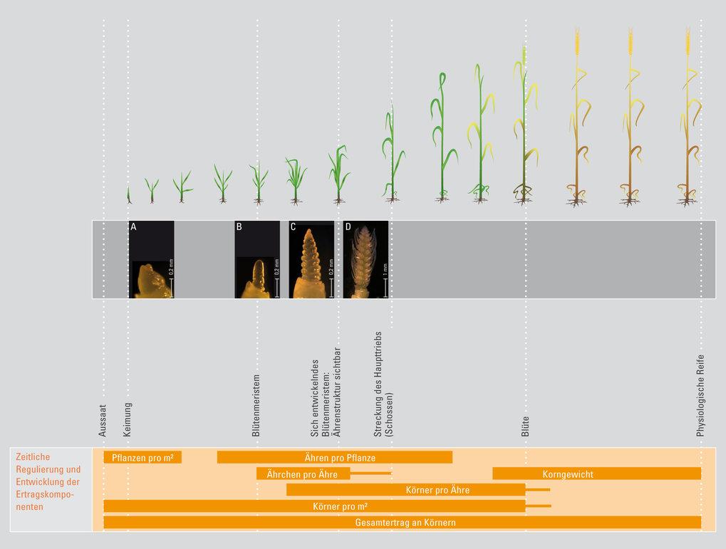 Bei der Blütenbildung der Gerste bildet sich zunächst aus vegetativem Wachstumsgewebe (Meristem, A) das Blütenbildungsgewebe (Blütenmeristem, B). Aus