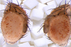 Researchers can identify the obese flies by their red eyes: Due to the particularly sugary diet of their fathers, the genes for a red dye in the eye as well as other metabolism factors can be identified in the sons.