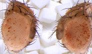 Fruchtfliegen vererben Änderungen ihres Stoffwechsels vom Vater auf den Sohn