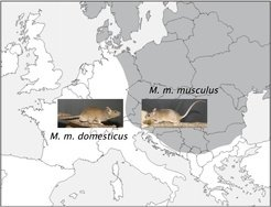 <p>The distribution of the house mouse subspecies cuts across Central Europe: <em>Mus musculus musculus</em> lives to the east, <em>Mus musculus domesticus</em> to west. In the border region, the two sub-species mix.</p>