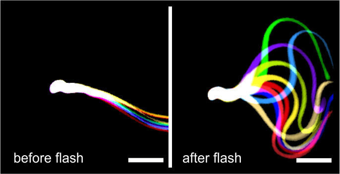 "Light stimulation restores flagellar beating. Flagellar waveform of sperm lacking the function SACY enzyme, but containing the light-activated bPAC, before (left) and after stimulation with blue light (right). Successive, aligned, and superimposed images creating a ""stop‐motion"" image, illustrating one flagellar beating cycle. Scale bar: 30 µm."