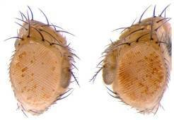 <strong>Abb. 2:</strong> Genetisch identische Fliegen, deren Väter Nahrung mit hohem Zuckeranteil zu sich nahmen, zeigen eine offenere Chromatins