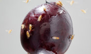 Fruit flies can indirectly smell antioxidants