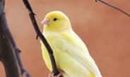 Hormone regulieren Gene saisonal singender Vögel