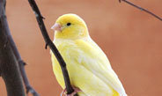 Mapping of the canary genome