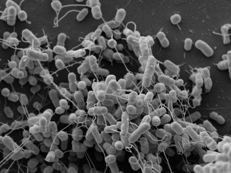 Micrografia electrónica de Acinetobacter baylyi y Escherichia coli modificadas geneticamente. La bacteria intercambia alimento por