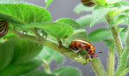 Fighting the Colorado potato beetle with RNA