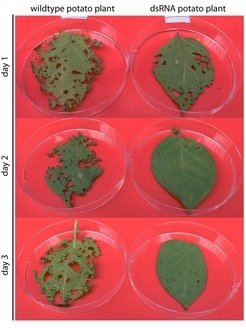 Feeding experiment with different potato leaves: Detached leaves of unmodified plants were compared to plants with an altered chloroplast genome. First instar larvae were fed on these leaves for three days in intervals of 24 hours. The leaves were replaced after each interval.