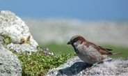 Long-term study in house sparrows shows a transgenerational age effect