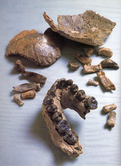 The fossil Olduvai Hominid 7 (OH 7), including a partial lower jaw, bones of the braincase and hand bones.