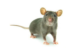 Mice are the mainstay of laboratory research. A long-lived mouse cansurvive for more than 4 years.