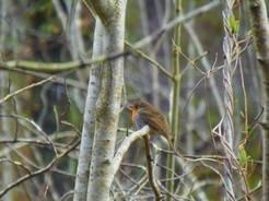 Das Rotkehlchen gehört zu den Vogelarten, die von der nächtlichen Beleuchtung am stärksten beeinflusst werden.