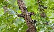 Englerin-A aus dem Baum Phyllanthus engleri erhöht Kalziumkonzentration in den Krebszellen und tötet diese ab