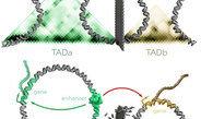 Berliner Forscher erklären Entstehung seltener Erkrankungen durch Zerstörung funktionaler Grenzen innerhalb der DNA