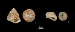 <em>Phorcus turbinatus</em> shells. Top and side views of 1) a complete specimen and 2) a shell of which the top was removed by Upper Palaeolithic people to aid flesh extraction (scale bar: 1 centimeter).