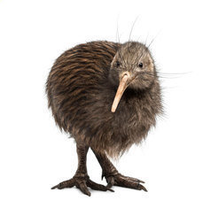Like all kiwi species, the Brown Kiwi (<em>Apteryx mantelli</em>) is adapted to living in darkness. The birds spend all day in a cave which they only leave at nightfall. In their nocturnal forays, they rely on smells and sounds - an unusual behaviour for birds.