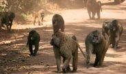 In einer Pavian-Gruppe kann jeder die Richtung vorgeben, nicht nur das ranghöchste Tier