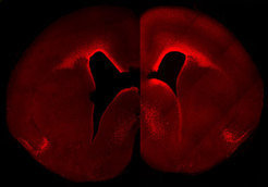 The left brain hemisphere shows the normal level and cellular distribution of Pax6 expression in the developing neocortex. The right brain hemisphere shows a sustained, primate-like Pax6 expression pattern in the neocortex of a double transgenic mouse embryo. These animals have more Pax6-positive progenitor cells and a higher Pax6 expression level in the germinal layer close to the ventricle in the right hemisphere.