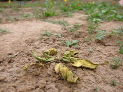 Community of soil bacteria saves plants from root rot