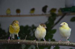 Junge Kanarienvögel im Alter von 110, 72 und 39 Tagen (von links). Die Vögel haben während ihrer Entwicklung unterschiedlich viel Gesan