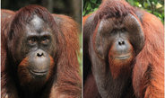 Dominant, cheek-padded orang-utan males are significantly more successful at fathering offspring – except in times of rank instability