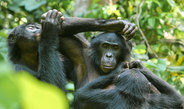 In order to communicate their intentions wild bonobos use referential gestural communication