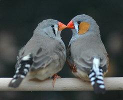 Liebespaar beim Schnäbeln: Wenn Zebrafinken ihren Partner selbst wählen, legen sie zwar nicht mehr Eier als Vögel in erzwungenen Partne