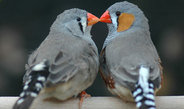 Zebra finches allowed to breed with their preferred partner achieved a 37 percent higher reproductive success compared to pairs that were forced to mate