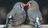 Die Vögel haben mehr Nachkommen, wenn sie ihren Lebenspartner frei wählen können
