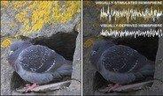 Auch manche Regionen des Vogelgehirns schlafen tiefer als andere - nämlich die, die zuvor besonders aktiv waren.