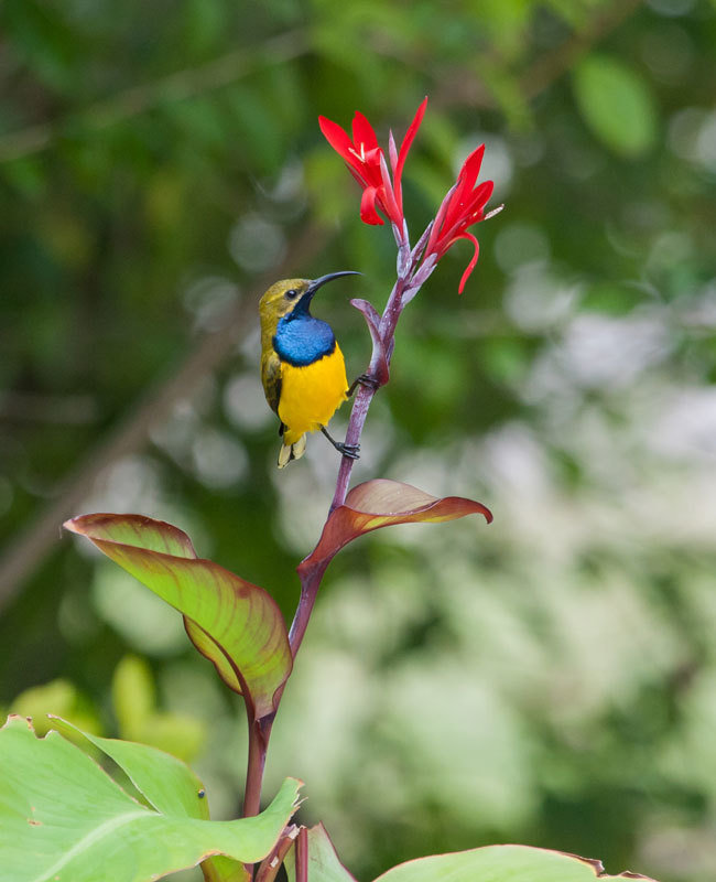 Birds Sunbird: Are Females Glamorous Because Males Are?