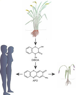 To have an advantage over their neighbours, some plant species release chemicals from their roots (e.g. DIBOA). These compounds can get degraded in the soil and turn into toxic substances, illustrated here by APO. When these toxins enter the roots of neighbouring plants, they prevent them from growing further.