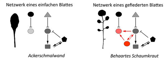 Die Aktivität zweier Gene (rote Kreise) ist spezifisch für das Netzwerk im Blatt des Behaarten Schaumkrauts und erzeugt neue Verbindungen zw