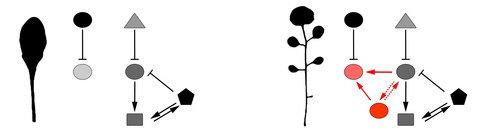 Pleiotropie beeinflusst die Gene, die für die Vielfalt der Blattformen verantwortlich sind