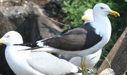 Without their sense of smell, lesser black-backed gulls are unable to compensate for deviations from their natural migratory corridor