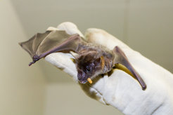 Small pale spear-nosed bats (<em>Phyllostomus discolor</em>) with a meal worm. The animal adapts its echolocation calls to the surrounding noise level.