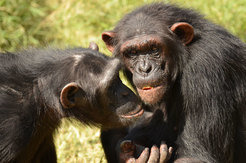 Chimpanzee friendships are also based on trust.