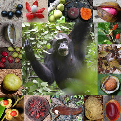 Chimpanzee female eating Grewia fruit, and a variety of rainforest fruit eaten by chimpanzees in Uganda, Côte d'Ivoire and Gabon.